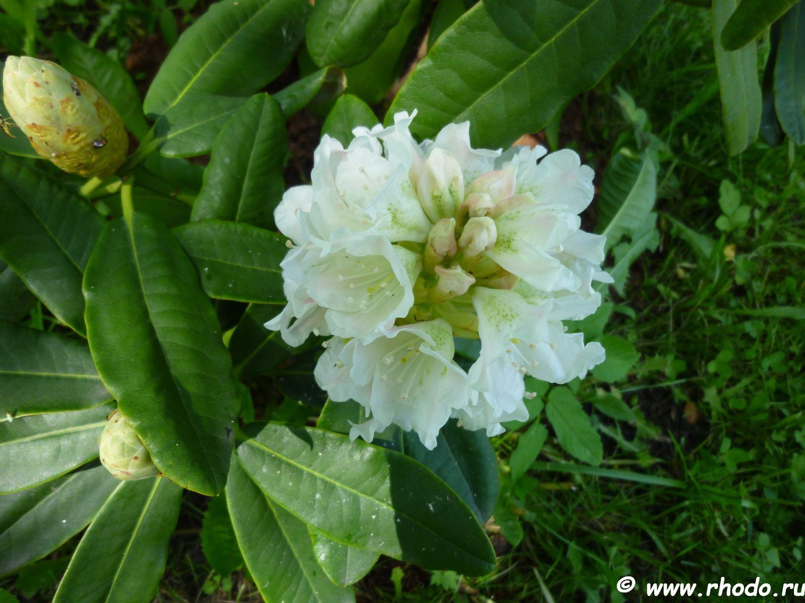 Радедорм цветы
